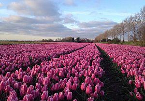 8e Tulpenwandeltocht met 5 prachtige routes