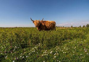 Nieuwe excursie: De Schotse hooglanders op Tiengemeten